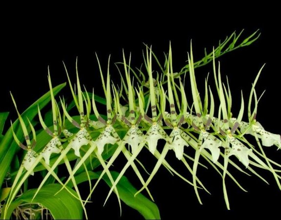 Brassia Rex - Adulta