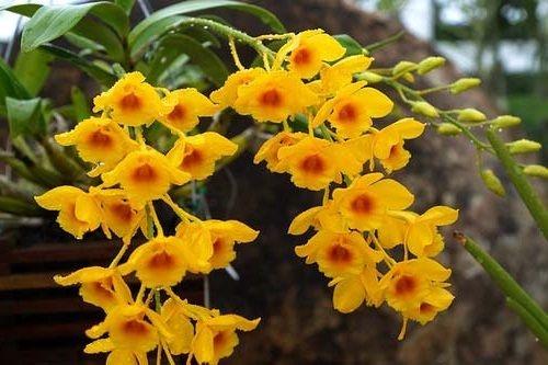 Dendrobium Chrysotoxum - Muda T2