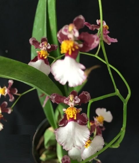 Oncidium Kaiulani - Adulta