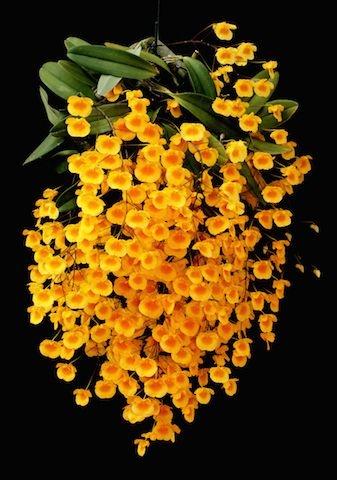 Dendrobium Agregatum - Adulta