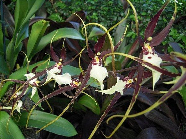 """Miltassia Kauai's Choice """"Tropical Fragrance"""" - Adulta"""