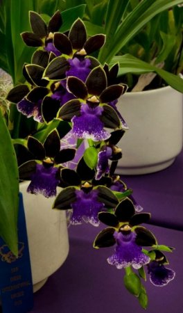 Zygopetalum Jumpin Jack 'Big Beans' - Adulta
