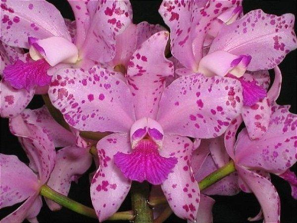 Cattleya Amethystoglossa - T4