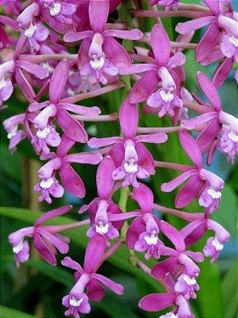 Epidendrum Revolutum - T3