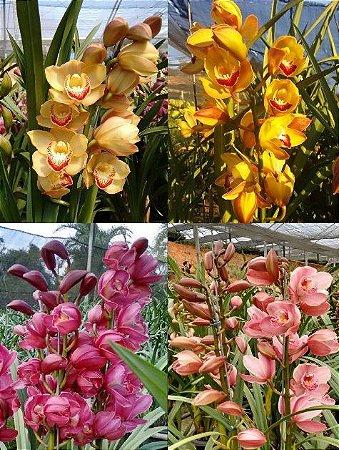 Promoção Imperdível: 4 Orquídeas Cymbidium - T4