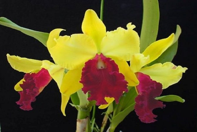 "Blc Toshie Aoki ""Excellent Gold"" - Adulta"