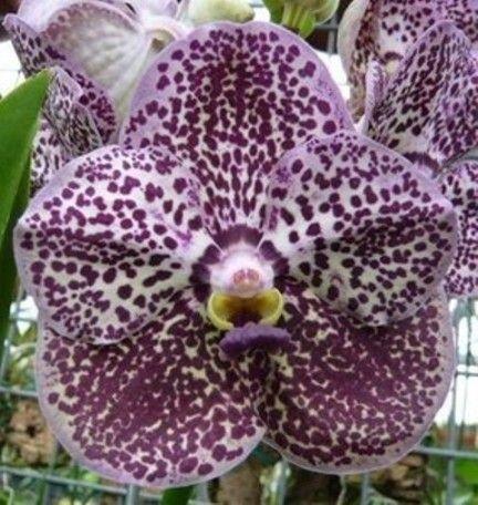 Ascda Kulwadee Fragance 'Violet Spot's (vanda) - Adulta