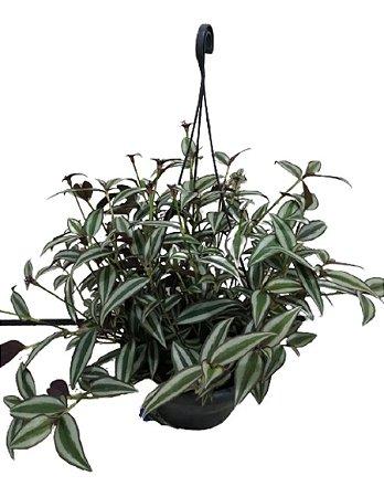 Tradescantia Spathacea Cuia 21cm