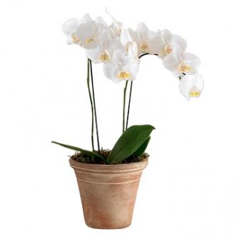 Orquidea branca plantada Dupla