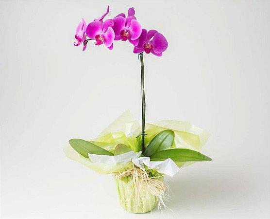 Orquídea Plantada Pink