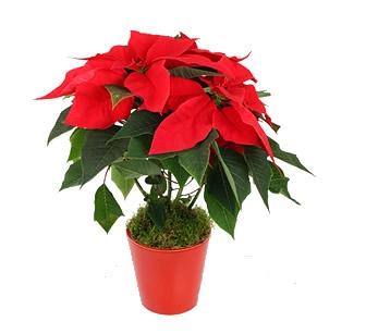 Planta de Natal