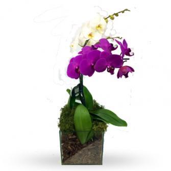 Orquidea Dupla Colorida