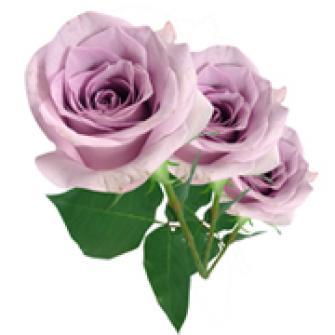 3 Rosas Lílas