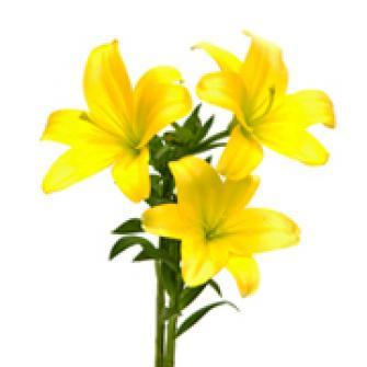 Lírio Amarelo - galho