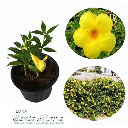 Mini Alamanda Amarela - vaso