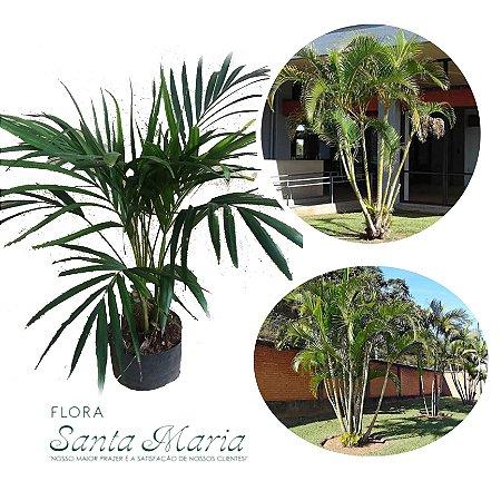 Areca Bambu - Dypsis lutescens ( ULTIMAS UNIDADES !)