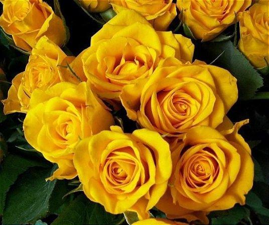 Linda Rosa de Flor Amarelo Ouro Muda com 40 cm, já floresce!