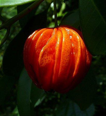 Raro Araçá Piranga, Paul Alazão Muda com 70 cm Produz em 1 Ano -  Eugenia multicostata