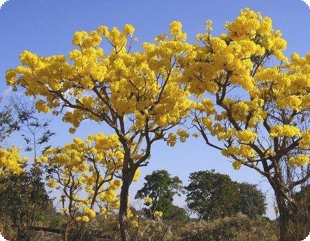 Lindo Ipê Amarelo Muda com 60 cm + BRINDE