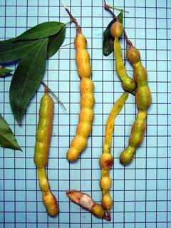 Muda do Delicioso Ingá Feijão em Produção -  Inga marginata + BRINDE