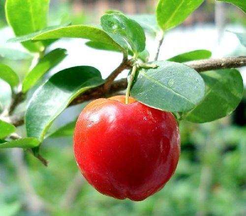 Muda de Acerola Rica em Vitamina C com 80 cm + Brinde