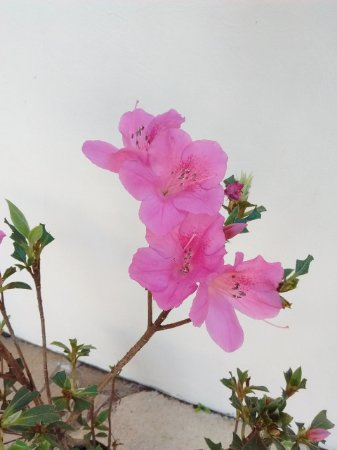 Muda De Azaléia Rosa Florescendo com 80 cm + Brinde