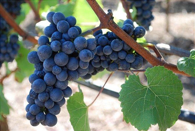 Uva Pinot Noir Ideal Para Vinho Fino Muda com 40 cm + Brinde