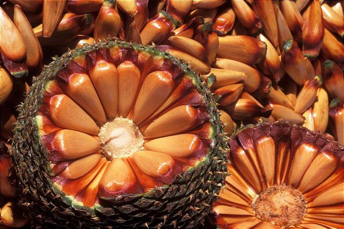 Muda De Pinheiro Brasileiro com 70 cm - Araucaria Angustifolia