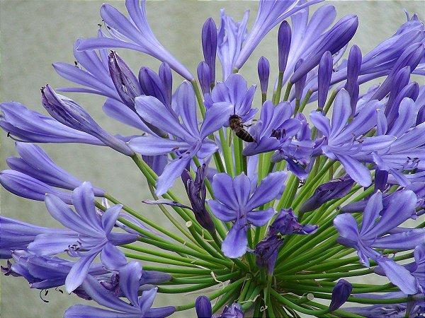 Linda Flor Agapanto Roxo Muda C/ 50 cm Já Floresce + Brinde