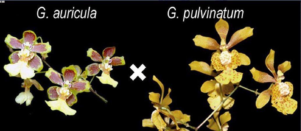 Grandiphyllum (Auricula × Pulvinatum) - Adulto com haste