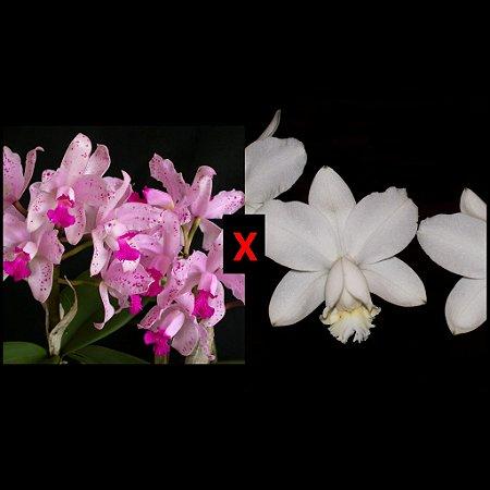 Cattleya (Loddigesii Alba x Amethystoglossa) - Tamanho 3