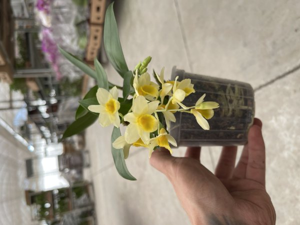 Dendrobium (Mem. Christa Erdmann x Mousmee) - Adulta