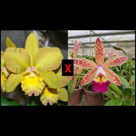 Blc. Waikiki Gold x C. Tropical Pointer - Adulta