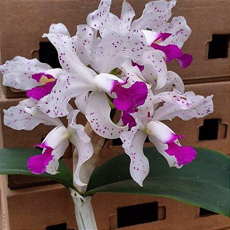Cattleya Amethystoglossa Tipo - Tamanho 3