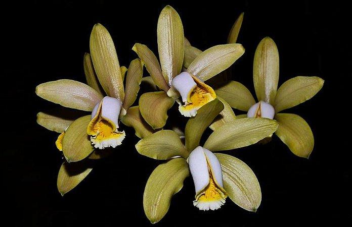 Cattleya Forbesii - Tamanho 3