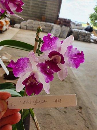 Cattleya Interglossa #4 - Planta Unica