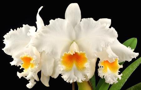 Cattleya Old White - Pre adulta