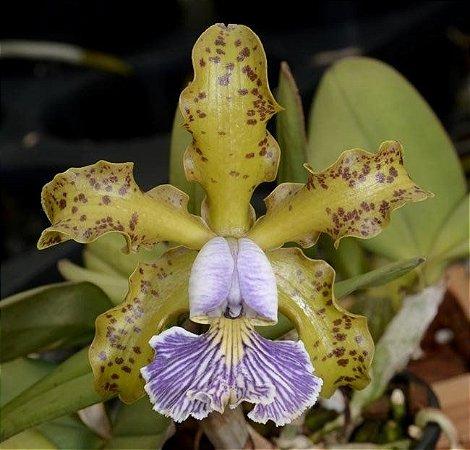 Cattleya Schilleriana Coerulea - Pré Adulta