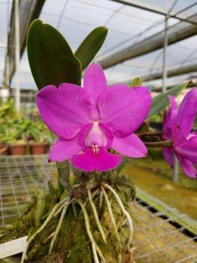 Cattleya Walkeriana Feiticeira - Pre Adulta (conferir segunda foto)