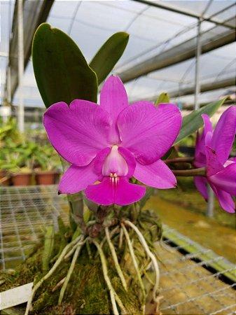Cattleya Walkeriana Feiticeira - Tamanho 2