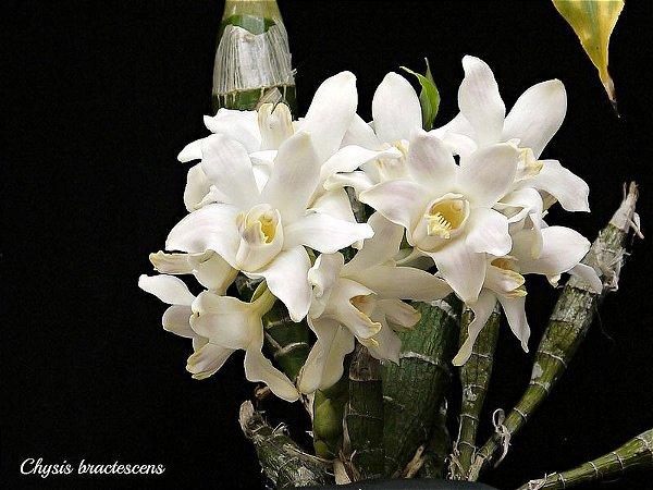 Chysis Bractescens - Pre Adulta