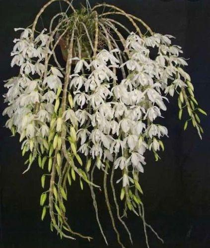 Dendrobium Anosmum Alba - Tamanho 3