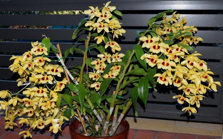Dendrobium Gatton Sunray - Adulta