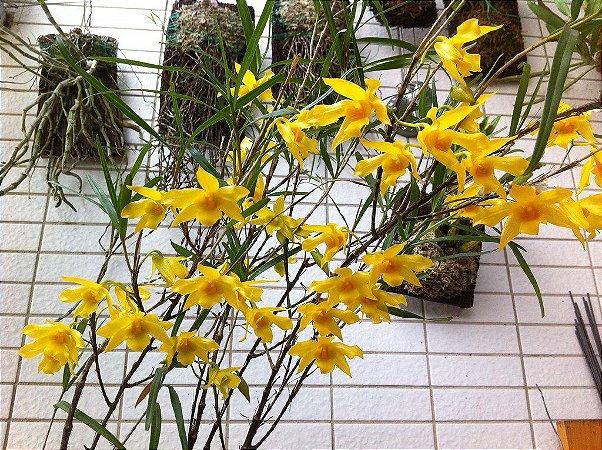Dendrobium Hancokii - Pré Adulto