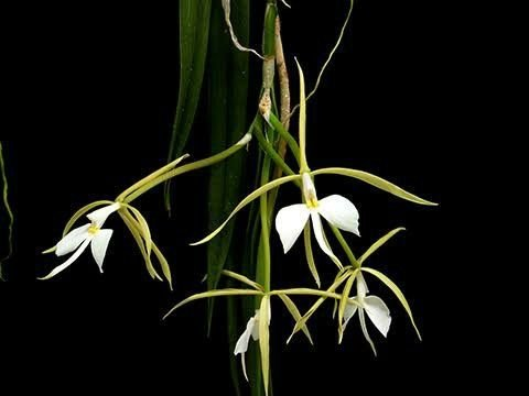Epidendrum Parkinsonianum - Tamanho 3