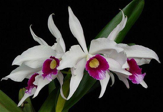Laelia Purpurata Semi Alba - Tamanho 3