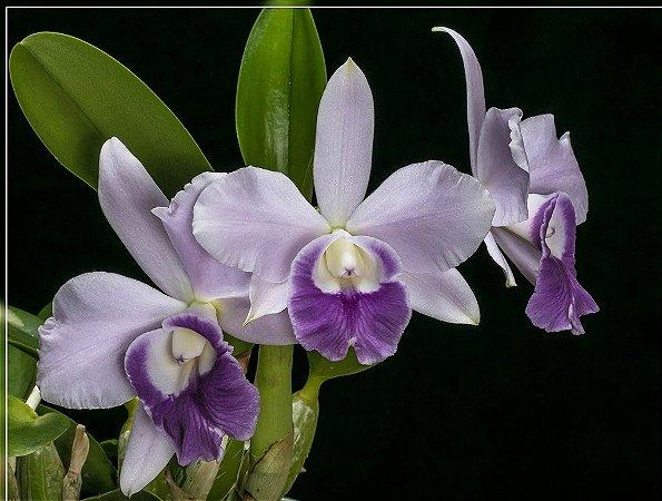 """Lc. Mini Purple """"Blue Pacific"""" no cachepot - Adulta"""