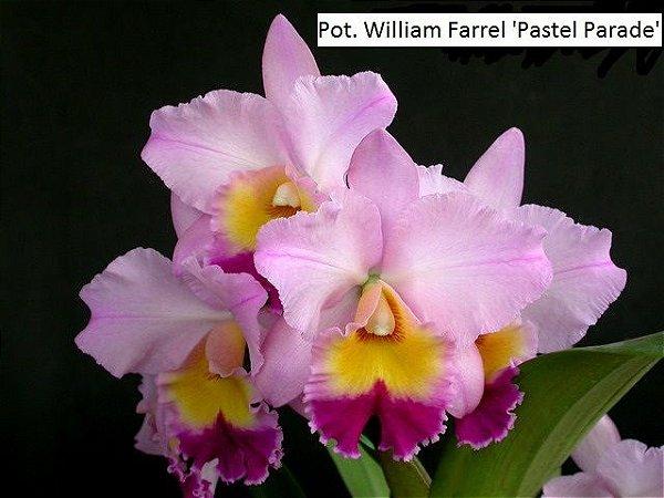 Pot. William Farrel 'Pastel Parade' - Tamanho 3