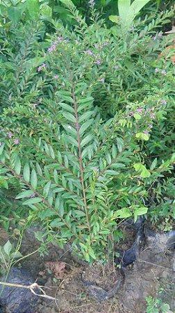 Cuféia – Cuphea gracilis