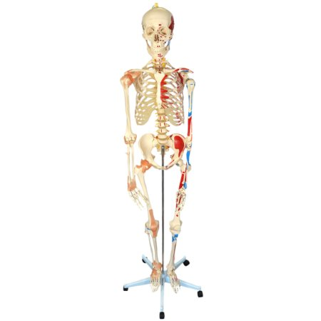 Esqueleto 168 cm, com Ligamentos e Inserções Musculares, com Suporte e Base com Rodas TGD-0101-A